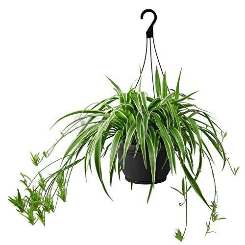 Spider Plant Variegated aka Chlorophytum comosum Hanging Live Plant Fit 4