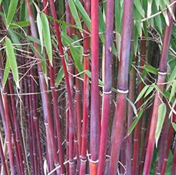 (Red-striped culms - very rare candy cane bamboo-like plant - Himalayacalamus falconeri - 10)