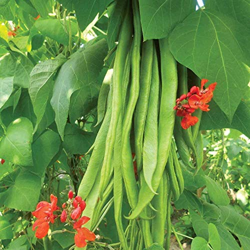 Casavidas Seeds Package: Runner Beans-Enorma- Exhibition Variety -20 Finest Seeds (Half-Meter-Long Pods)