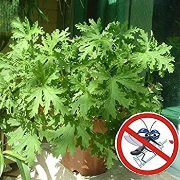 LX_ 100pc Citronella Plant Seeds Mozzie Buster Plant Mosquito Repellent Plant Garden & Patio Seeds & Bulbs
