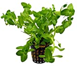 Greenpro Bacopa Water Hyssop Live Aquarium Plants Freshwater Tank Decoration