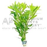 Mermaid Weed Proserpinaca Palustris Emersed Bunch Aquarium Plants