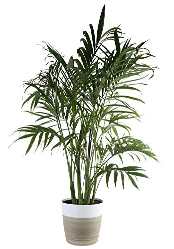 - Costa Farms Cat Cataractarum Indoor Palm Tree Décor Planter, 3-Foot, White-Natural