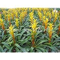Generic Fresh 50 pcs Semillas de bromelia Tillandsia Bulbosa para plantar amarillo 3