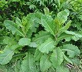 Lactuca virosa Seeds ~ 175+ Seeds ~ Opium Lettuce
