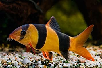 Clown Loach 1.75 Inch - Freshwater Live Tropical Fish