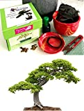 Premium Chinese Elm Bonsai Kit -CERAMIC Pot/Seeds/Soil/Liquid Fertilizer/Training Wire/Drainage whole cover/Extra Seeds/Gift Tag