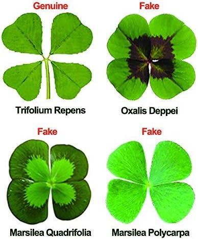 Real 4 trébol de cuatro hojas de herbario Frasco De Vidrio Conserva flor encanto de la suerte de regalo