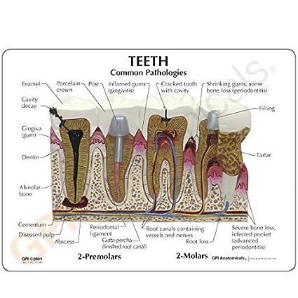 Human Teeth Cross Section Model Human Anatomical Models Amazon