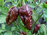 Ghost Bhut Jolokia Chocolate Hot Pepper Live Plants (2 Pack)