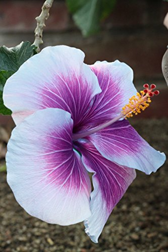 Purple Hibiscus (10+ Dinnerplate Hibiscus/ Purple Cream/ Perennial Flower Seed/ Easy to Grow/ Huge 10-12 Inch Flowers)