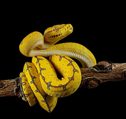 Photos.com by Getty Images Green Tree Python Ready To Strike Poster Print, 17