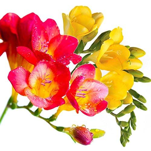 Freesia flowers amazon freesia sunset sisters collection 30 bulbs 6 cm fragrant mightylinksfo
