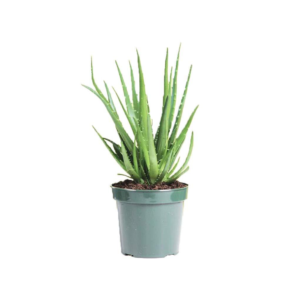 AMERICAN PLANT EXCHANGE Aloe Hedgehog Live Plant, 6'' 1 Gallon Pot, Indoor/Outdoor Air Purifier