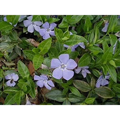 "Periwinkle 4"" Pot, Graveyard Vine Ground Cover 15-20 Leads : Garden & Outdoor"
