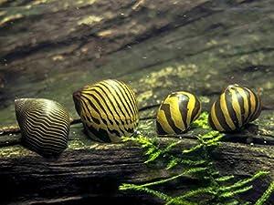 Nerite Snails COMBO Neritina natalensis