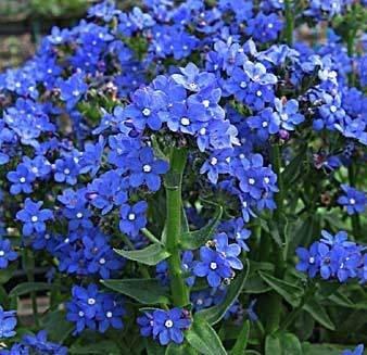 Seedville Alkanet Anchusa Italian Capensis Flowers - 100 ()