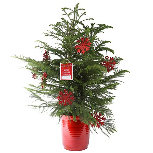 Live Christmas Trees - Costa Farms Live Norfolk Island Pine (Indoor Christmas Tree), Large