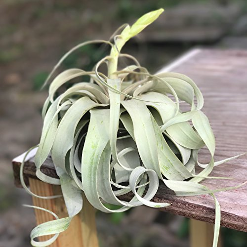 Large Air Plants - Large Xerographica Air Plants - The Queen of Air Plants - Big 5 to 7 inch wide air plants - 30 Day Guarantee