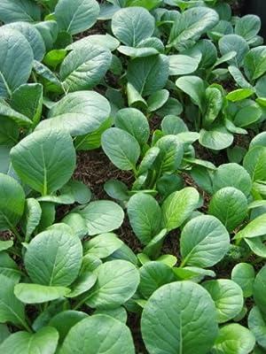 1500 SPINACH MUSTARD TENDERGREEN (Mustard Greens / Tendergreen Komatsuna) Brassica Rapa Komatsuna Vegetable Seeds