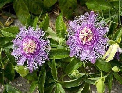 (MAYPOP PURPLE PASSION FLOWER PLANT PASSIFLORA INCARNATA Pot 4 Best Gift New)