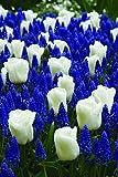 Burpee's Cool Blues Mix - 21 Flower Bulbs   Blue & White  
