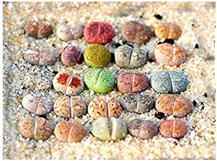 Assorted Small Lithops
