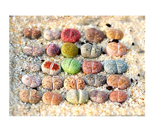 Pack of 8 Live Mini Exotic Lithops Plant Seedlings Perfect for Lithops Starter Great Terrarium Addition FY2018 Seedlings (Pack of 8 Seedlings + Seed Kit (25 Seeds))