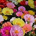 Narutosak 100Pcs Fresh Flower Seeds Moss Rose Double Mix Portulaca Grandiflora Gardening