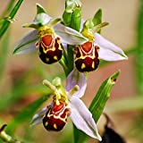 50 Seeds Rare Plant Pot Flower Smile Face Bee Orchid Flower Plant