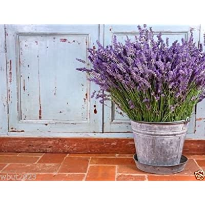 English Lavender (1000 Seeds) Organic, Untreated Herb Seed ! : Garden & Outdoor
