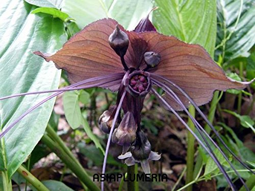 This Item 2 Plants Bulbs Tacca Chantrieri Black Bat Flower + FREE PHYTO Flower Fresh & Viable From - Plant Bat