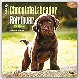 Labrador Retriever Puppies, Chocolate 2016 Square 12x12 (Multilingual Edition)