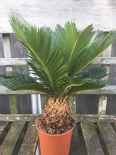 Cycad Cycas revoluta 50-60 cm Pair of King Sago Palm Trees