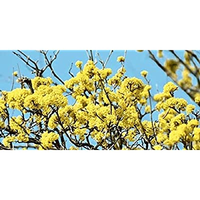 AchmadAnam - Live Plant - Hamamelis VIRGINIANA. E4 : Garden & Outdoor