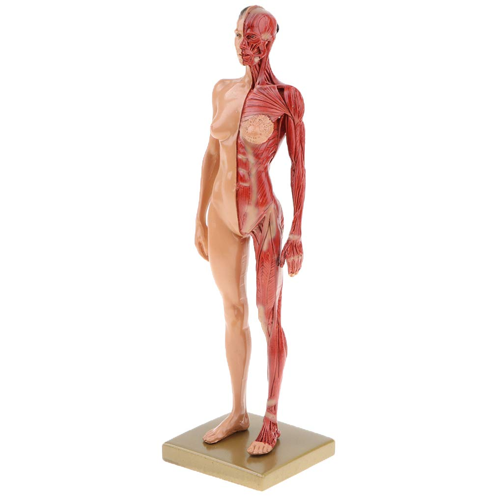 Buy Kawn 11 Human Anatomy Figure Collection Anatomical Reference