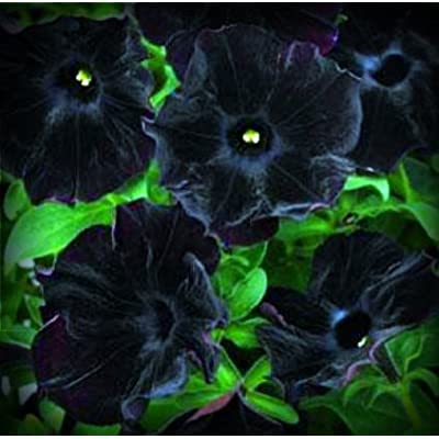Black Velvet Petunia Flower Seed Pack 100 Stratisfied Seeds : Petunia Plants : Garden & Outdoor