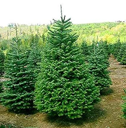 Christmas Tree Seeds.100 Seeds Balsam Fir Tree Seeds Christmas Decoration Trees Abies Balsamea Evergreen Fast Growing Trees