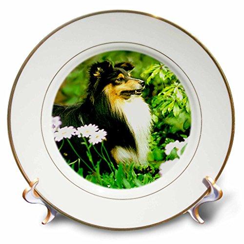 3dRose cp_668_1 Sheltie Porcelain Plate, (Sheltie Porcelain)