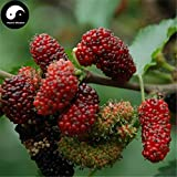 Planting Fruit Trees Fruit Planting Buy Mulberry Tree Semente 400pcs Plant Chinese Fructus Mori for Fruits Sang Shen