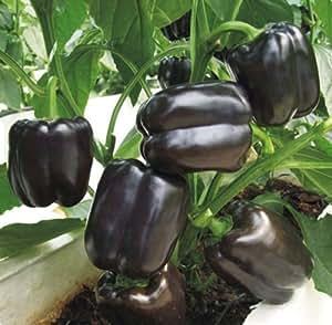 Semillas de Pimienta Dulce * negro cuadrado * vegetales semillas de Ucrania temprana