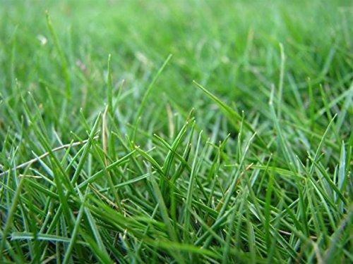 - HULLED COATED BERMUDA GRASS 5 LB