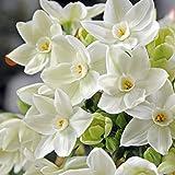 Easy to Grow TM Narcissus Ziva Paperwhites, 20 bulbs - 17+cm