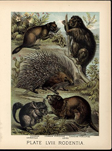 chinchilla-porcupine-coypu-viscacha-rodents-1880-great-old-color-animal-print