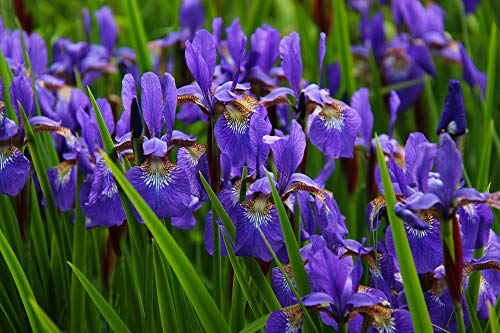 (Home Comforts Peel-n-Stick Poster of Nature Flower Purple Blossom Iris Bloom Floral Vivid Imagery Poster 24 x 16 Adhesive Sticker Poster Print)