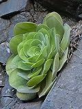 Home Comforts Laminated Poster Succulent Plant Aeonium Leaves Aeonium Haworthii Poster Print 24 x 36