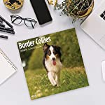2020 Border Collies Wall Calendar by Bright Day, 16 Month 12 x 12 Inch, Cute Dogs Puppy Animals Colley 10