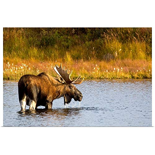GREATBIGCANVAS Poster Print Entitled A Large Bull Moose wades Through a permafrost Pond in Denali National Park by Ken Baehr 18