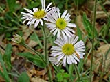 1 Bare Root of Robin's Plantain Erigeron Pulchellus Native Perennial Wildflower