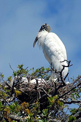 Baby Bird Nesting - Home Comforts Canvas Print Wood Stork Nest Tropical Bird Bird Nesting Babies Stretched Canvas 10 x 14